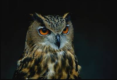 African Eagle Owls Are Among The 200 Art Print by Joel Sartore