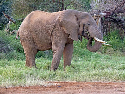 Photograph - African Elephant Feeding by Tony Murtagh