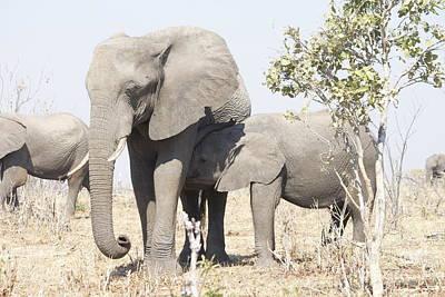 Wall Art - Photograph - African Elephant Nursing Her Calf by Judith Hochroth