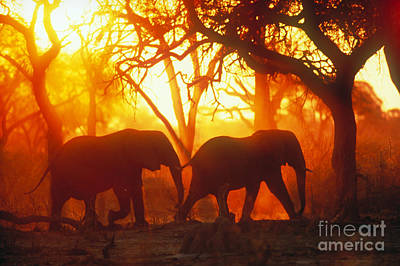 African Elephants Print by Gregory G. Dimijian