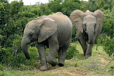 African Elephants Art Print by Peter Chadwick