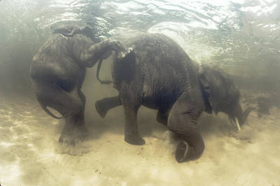 African Elephants Swimming Art Print by Peter Scoones