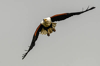 Photograph - African Fish Eagle by Alistair Lyne
