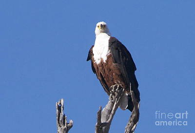 Wall Art - Photograph - African Fish Eagle by Judith Hochroth