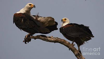 Photograph - African Fish Eagle by Mareko Marciniak