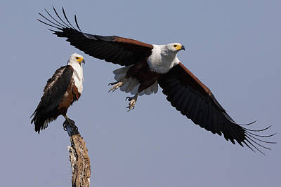African Fish Eagles, Chobe National Park, Botswana Art Print by Mint Images/ Art Wolfe