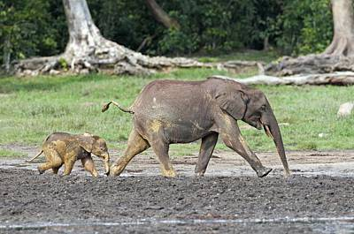 Sangha Photograph - African Forest Elephant And Calf by Tony Camacho
