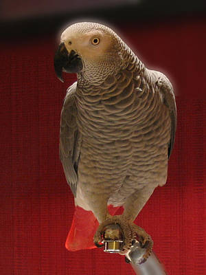 African Grey Parrot Orteil Blanc Art Print by Jonathan Whichard