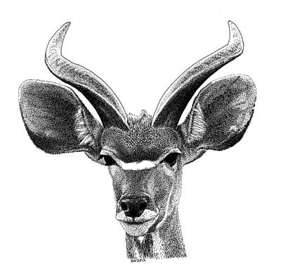 Drawing - African Kudu by Scott Woyak