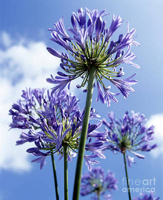 African Lily Photograph - African Lilies (agapanthus Sp.) by Gavin Kingcome