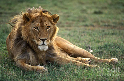 Photograph - African Lion - Serengeti Plains by Craig Lovell