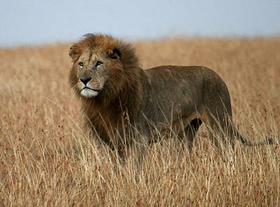 Photograph - African Lion by C Ribet