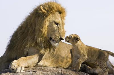 Photograph - African Lion Cub Meets Father by Suzi Eszterhas