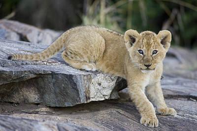 Photograph - African Lion Cub On Rock Masai Mara by Suzi Eszterhas
