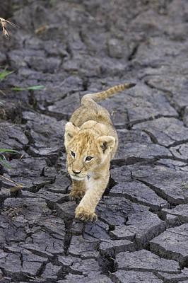 Photograph - African Lion Cub Walking On Dry by Suzi Eszterhas