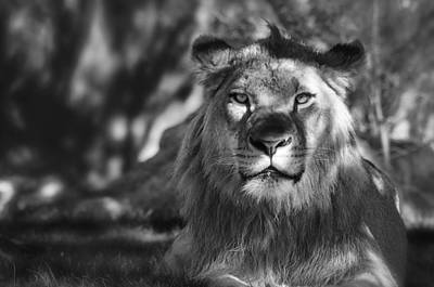 Photograph - African Lion In Black And White  by Saija  Lehtonen