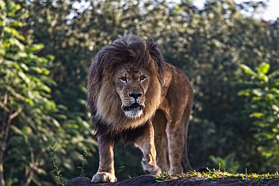 Photograph - African Lion by Jason Blalock