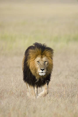 Photograph - African Lion On The Savanna by Suzi Eszterhas