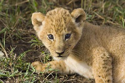 Photograph - African Lion Panthera Leo Five Week Old by Suzi Eszterhas
