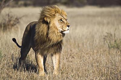 Photograph - African Lion Panthera Leo Male, Khutse by Vincent Grafhorst