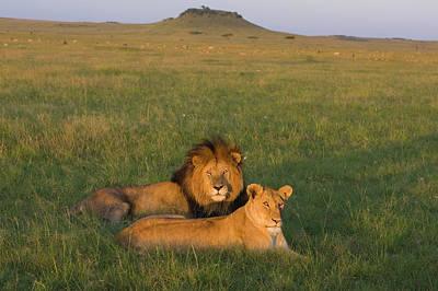 African Lion Panthera Leo Male Art Print by Suzi Eszterhas