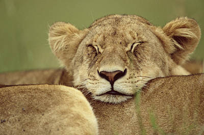 African Lion Panthera Leo Resting Head Art Print by Anup Shah