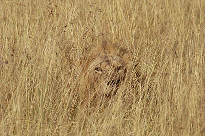 Photograph - African Lion Panthera Leo Young Male by Gerry Ellis