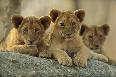 African Lion Three Cubs Resting Art Print by Tim Fitzharris