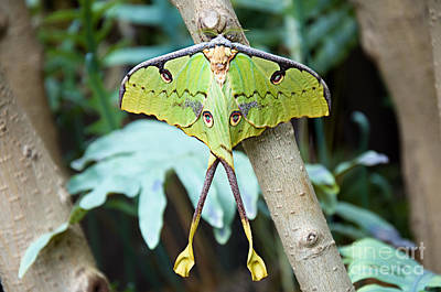 Photograph - African Moon Moth 1 by Andee Design