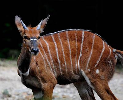 Photograph - African Nyala Deer by Chua  ChinLeng