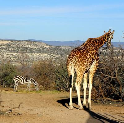 African Safari In Arizona Art Print by Kim Galluzzo Wozniak