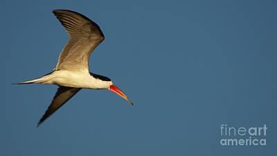Photograph - African Skimmer by Mareko Marciniak