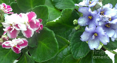 Houseplant Digital Art - African Violets Intertwined I by Nancy Mueller