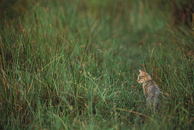 African Wild Cat Felis Lybica Sitting Art Print