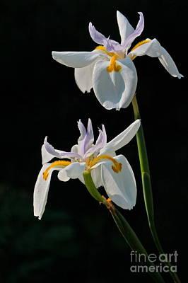 Photograph - African Wild Iris Flowers by Byron Varvarigos