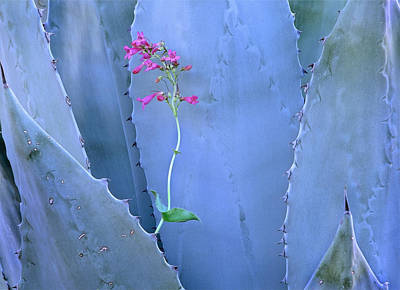Photograph - Agave Agave Sp And Parrys Penstemon by Tim Fitzharris
