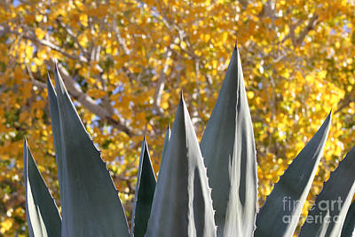 Photograph - Agave Spikes In Autumn by Alycia Christine