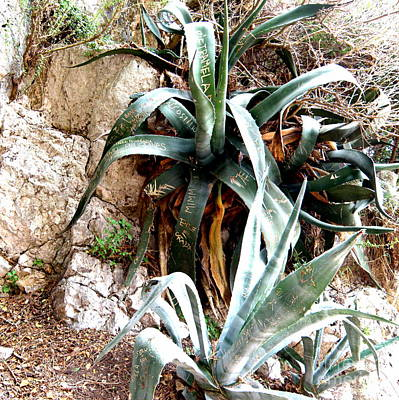 Art Print featuring the photograph Agave by Tanya  Searcy