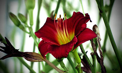 Photograph - Aging Lily by Ms Judi