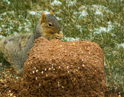 Squirrel Photograph - Aka Deer Feed Squirrel by LeeAnn McLaneGoetz McLaneGoetzStudioLLCcom