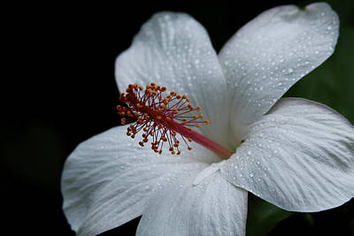 Photograph - Alabaster White Hibiscus by Karon Melillo DeVega