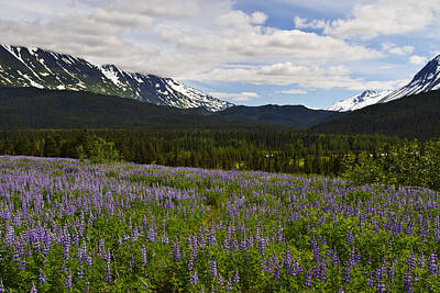 Photograph - Alaska Lupine by Wes and Dotty Weber