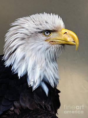 Alaskan  Bald Eagle Portrait Art Print