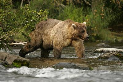 Alaskan Brown Bear Ursus Arctos Walking Art Print by Roy Toft