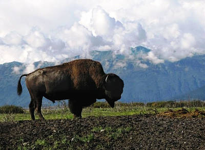 Photograph - Alaskan Buffalo by Katie Wing Vigil