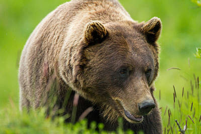 Photograph - Alaskan Grizzly by Adam Pender