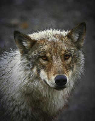 Alaskan Wolf Art Print