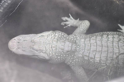 Photograph - Albino Alligator In The Mist by Jan Amiss Photography