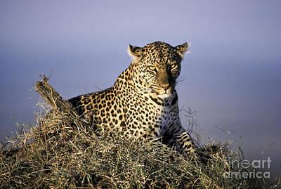 Alert Female Leopard Art Print
