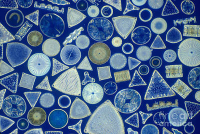 Diatoms Photograph - Algae, Fossil Diatoms, Lm by M. I. Walker